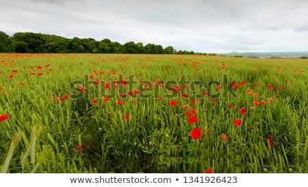 Campo trigo verão flor azul Foto stock © courtyardpix