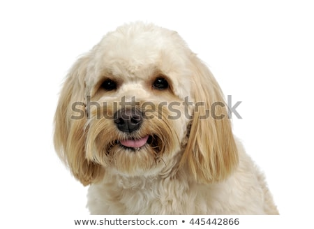 havanese relaxing in a white photo studio Stock photo © vauvau