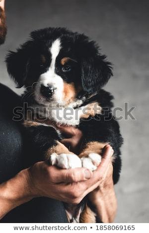 Stock photo: Bernese Mountain Dog lying in the white photo studio