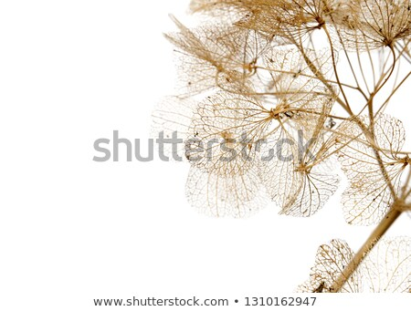 Dry hortensia close up in winter Stock photo © Julietphotography