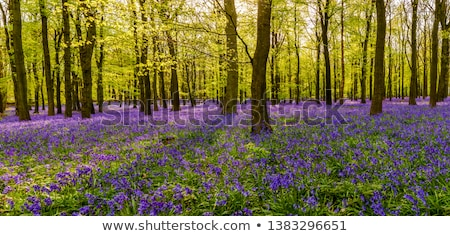 Bluebells in the Wood Stock photo © naffarts