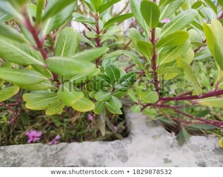 some fresh watercress stock photo © is2