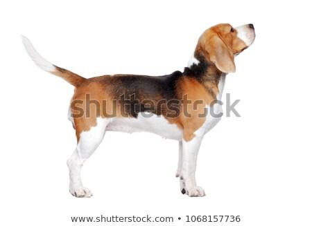 собака · прослушивании · гончая · ушки · вверх · белый - Сток-фото © is2