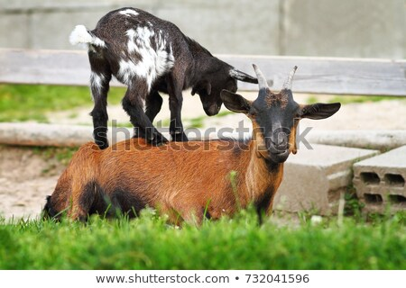 jóvenes · cabra · granja · cute · pie · hierba · verde - foto stock © taviphoto