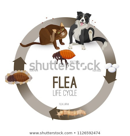 A life cycle of dog flea Stock photo © bluering