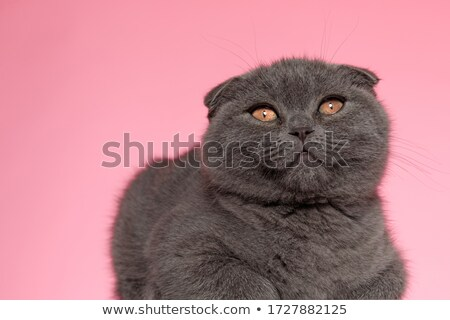curious scotish fold cat lying and looking up Stock photo © feedough