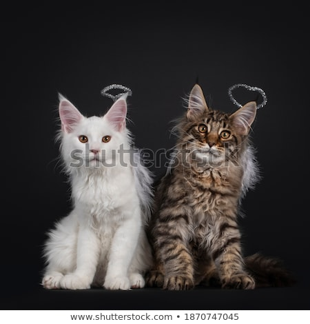 Duo of black with white and solid white Maine Coon cat kitten, isolated on white background . Stock photo © CatchyImages
