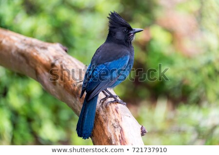 Stellar's Jay Stock photo © craig