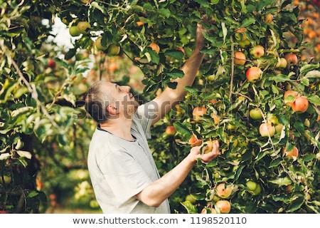 Appels oogst tijd mensen tuin Stockfoto © robuart