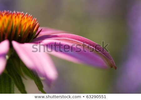 Bumblebee on a Cone Flower Stock photo © Frankljr