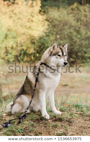 Cute purebred husky dog with handmade collar and leash sitting on forest path Stock photo © pressmaster