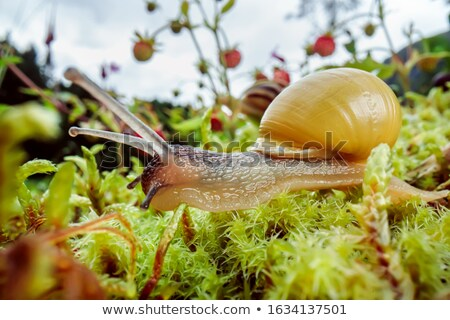 Snail slowly creeping along super macro close-up Stock photo © cookelma