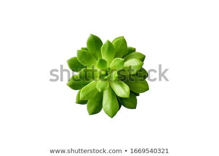 close up view of blossoming cactus in a pot stock photo © oneo