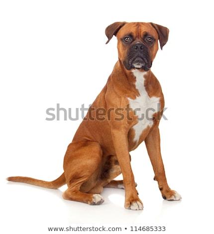 Stockfoto: Puppy · bokser · witte · dieren · grappig · dier