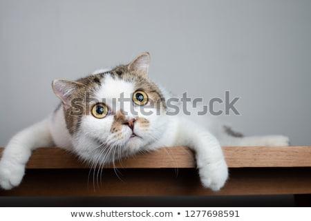 adorable · gris · gato · blanco · feliz - foto stock © feedough