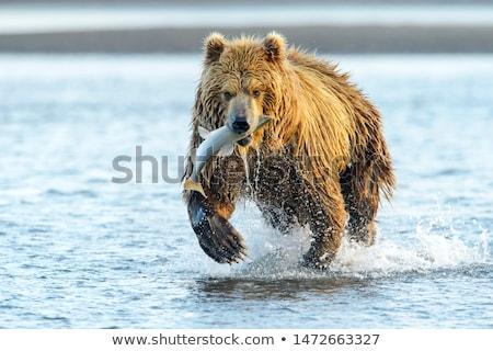 Grizzly verplaatsen dierentuin zoogdier roofdier Stockfoto © ca2hill