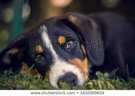 Cute счастливым собака Бернский зенненхунд портрет весны Сток-фото © photocreo