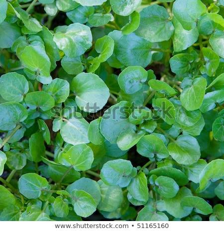 orvosi · természet · növény · gyógynövény · vad · növényvilág - stock fotó © rbiedermann