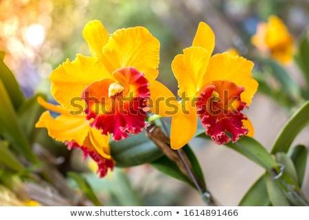желтый красивой орхидеи изолированный белый цветок Сток-фото © alexandre17