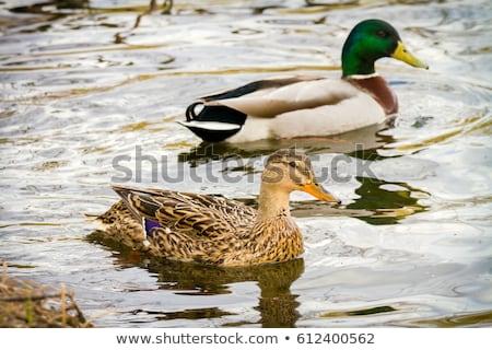 female wild duck Stock photo © cynoclub