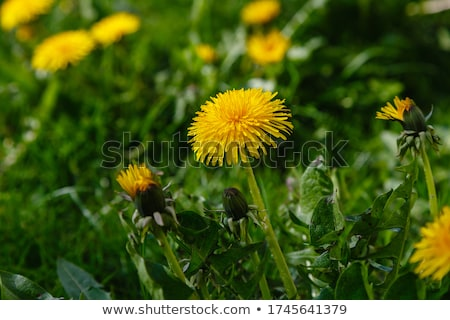 Dandelion flowers in bloom Stock photo © ia_64