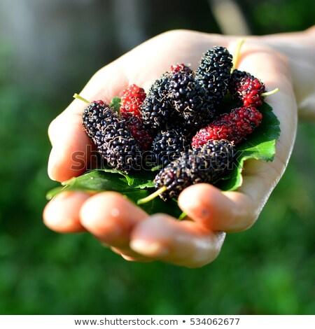 frambuesa · hojas · verde · medicina · rojo · postre - foto stock © masha