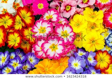 flor · neve · cedo · primavera · gelo · inverno - foto stock © chris2766