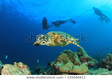 hawksbill turtle and divers in the red sea stock photo © stephankerkhofs