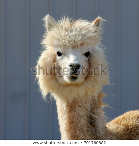 Head of a funny Alpaca Stock photo © tepic