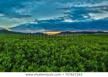 Alfafa campo grande francês país grama Foto stock © smithore