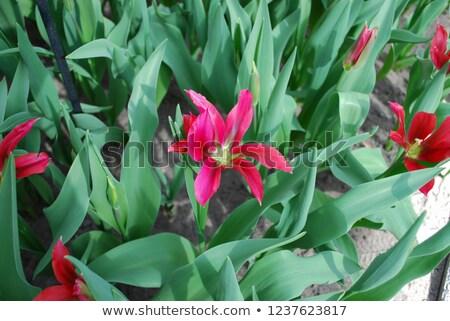 tulipán · babák · piros · izolált · fehér · virágok - stock fotó © Photocrea