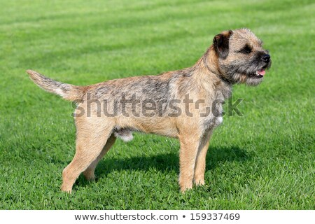 The typical Border Terrier  Stock photo © CaptureLight