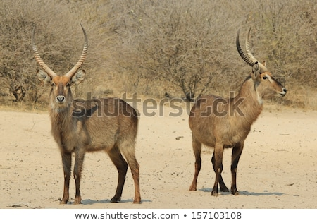 Waterbuck Bull Brothers from wild and free Africa Stock photo © Livingwild