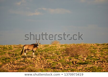 Oryx / Gemsbuck Antelope - Wild and Free in Africa stock photo © Livingwild