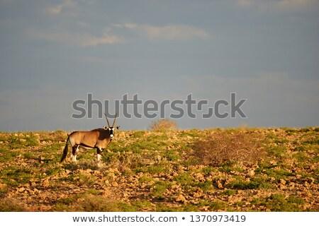 Oryx / Gemsbuck Antelope - Wild and Free in Africa Stock photo © Livingwild