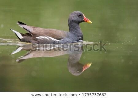 Yansıma göl yüzey doğa kuş kırmızı Stok fotoğraf © suerob