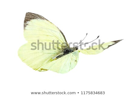 large white ,  Pieris brassicae Stock photo © chris2766