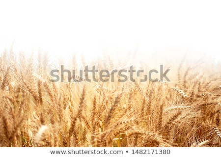 Bereich · Gold · Ohren · Weizen · dramatischen · Himmel - stock foto © mycola