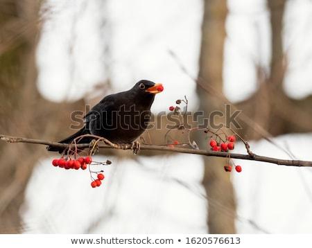 Fekete rigó ág piros természet madarak állat Stock fotó © chris2766