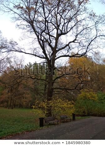 crown of oak trees in autumn under blue sky stock photo © meinzahn