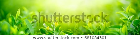 Fresh green leaves and sunshine stock photo © shihina