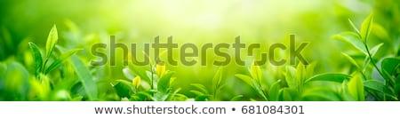 Stock fotó: Friss · zöld · levelek · napsütés · felhők · természet · fák