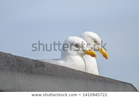 A pair of seagulls in their nest Stock photo © franky242