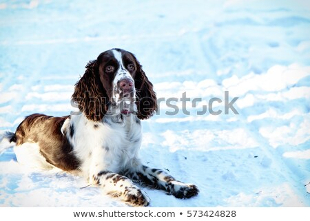 Working springer spaniel pet gundog playing in the snow Stock photo © chrisga