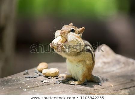 Wild animails in Canada - Chipmunk Stock photo © Dermot68