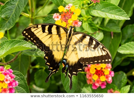 Foto d'archivio: Eastern Tiger Swallowtail Butterfly Papilio Glaucus Feeding On