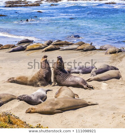 male Seelion at the beach of San Simeon Stock photo © meinzahn