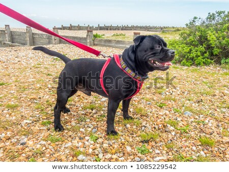 собака привязь Cute бульдог щенков Сток-фото © willeecole