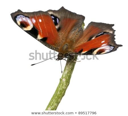 europeu · pavão · madeira · borboleta · natureza · retrato - foto stock © t3rmiit