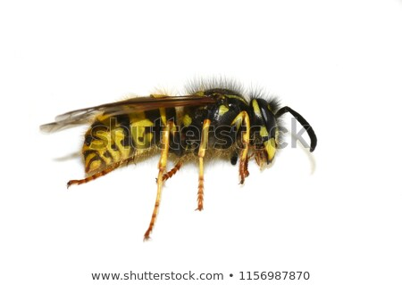 Morti vespa isolato bianco natura estate Foto d'archivio © michaklootwijk